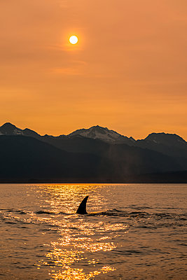 Killer whale (Orcinus orca), also known as Orca, swimming in Inside Passage with the Chilkat Mountains in the background; Alaska, United States of America - p442m2091963 by John Hyde