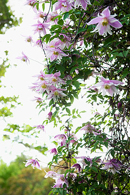 Flowering clematis, low angle view - p575m805188f by Lina Karna Kippel