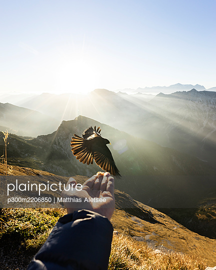 Jackdaw flying in front of hand with food, Hochplatte, Bavaria, Germany - p300m2206850 by Matthias Aletsee