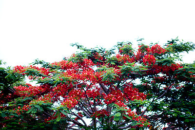 Red flame tree - p1072m905535 by Mia Mala McDonald