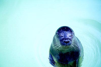 Kleiner Seehund im Wasser - p606m1564843 von Iris Friedrich