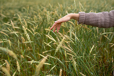 Woman's hand touching wheat ears on field - p1646m2258916 by Slava Chistyakov