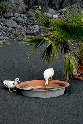 Zwei Enten - p451m886796 von Anja Weber-Decker