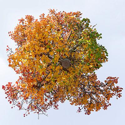 Tree, Nashi pear tree - p824m2116917 by jochen leisinger