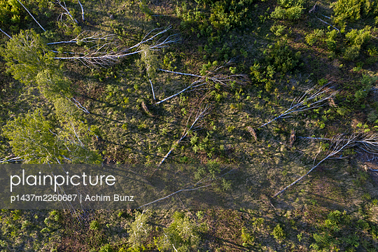 Disrooted birches, storm damage, drone photography - p1437m2260687 by Achim Bunz