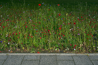 Poppies at roadside - p1132m925482 by Mischa Keijser