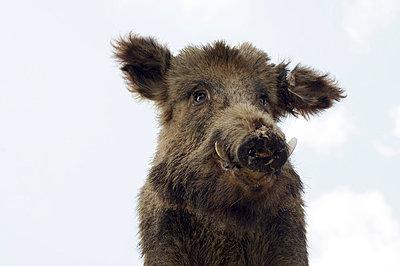 Wildschwein - p4510826 von Anja Weber-Decker
