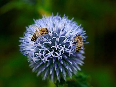 Distel mit Bienen und Hummeln - p897m1556680 von MICK
