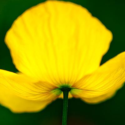 Yellow poppy - p1523m2064315 by Nic Fey