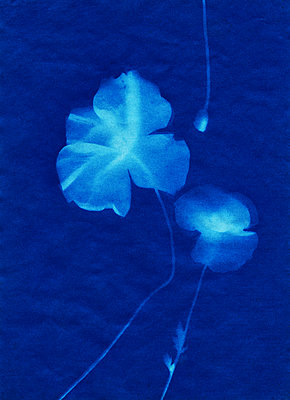 Petals bathed in blue light - p1648m2260199 by KOLETZKI