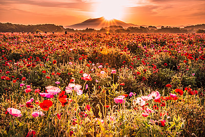 Mt. Tsukuba and poppy field - p514m1483953 by TAKASHI KOMATSUBARA