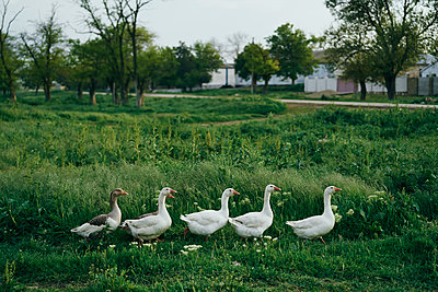 Ducks walking in grass - p555m1504227 by Dmitry Ageev
