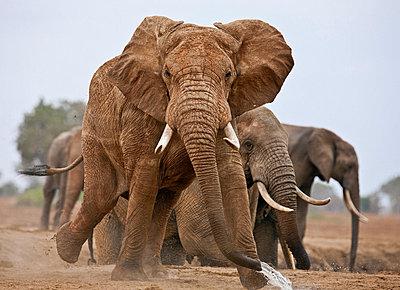 Elephants at a waterhole in Tsavo East National Park. - p652m716803 by Nigel Pavitt