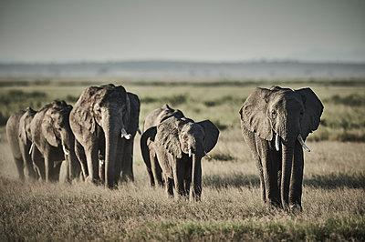 Group of elephants in a row, Kenya - p706m2158427 by Markus Tollhopf