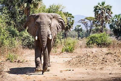 Elefant im Südluangwa-Nationalpark - p842m1538210 von Renée Del Missier