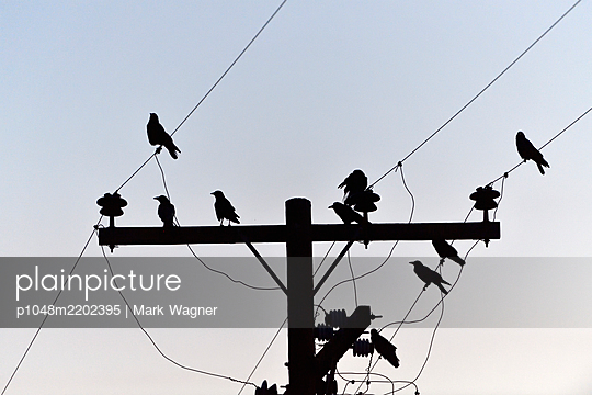 Birds perched on electrical wires - p1048m2202395 by Mark Wagner