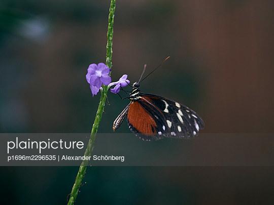 Butterfly and lilac flower - p1696m2296535 by Alexander Schönberg