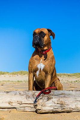 Boxer dog at the beach next to a dead piece of wood - p1619m2199942 by Laurent MOULAGER