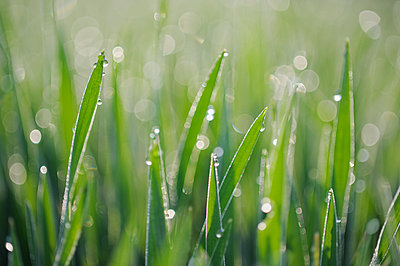 Dew on grass selective focus, close up - p300m2081174 by Martin Rügner