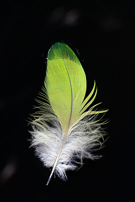 Feather - p873m1548241 by Philip Provily