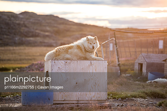 white husky sled dog rests on top of his dog house. - p1166m2292755 by Cavan Images