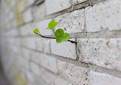Ivy growing through a wall - p1231m2230378 by Iris Loonen