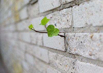 Efeu wächst durch eine Wand - p1231m2230378 von Iris Loonen