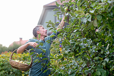 Man picking apples in garden, Stockholm, Sweden - p312m927129f by Ulf Huett Nilsson