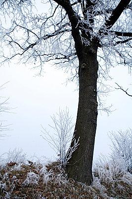 Verschneite Baeume im Nebel - p627m672272 by Kirsten Nijhof