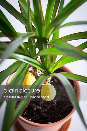 Dekorierte Zimmerpflanze - p1149m1162772 von Yvonne Röder