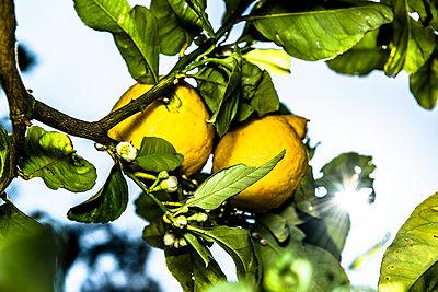 Citrus fruit - p936m939552 by Mike Hofstetter