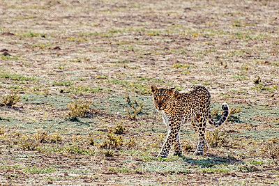 Leopard - p1065m885911 von KNSY Bande
