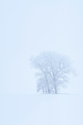 Trees in snow - p1247m2175740 by Hannes S. Altmann