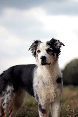 Australian Shepherd - p879m1196034 von nico
