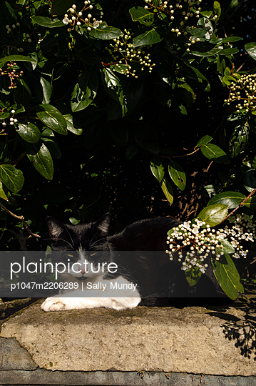 Black and white cat sitting on a wall by a hedge in the sunshine - p1047m2206289 by Sally Mundy