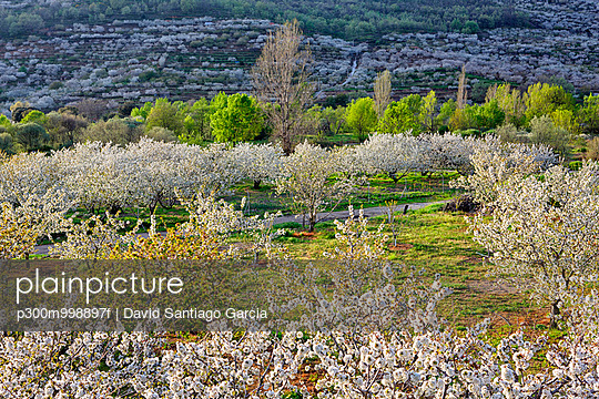 Spain, Extremadura, Valle del Jerte, Valley with blooming cherry trees - p300m998897f by David Santiago Garcia