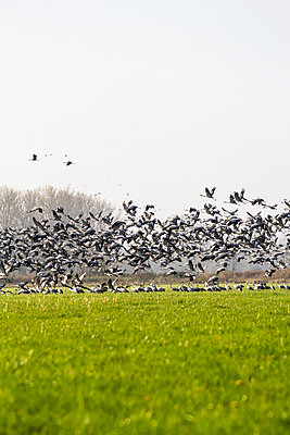 Flock of cranes - p739m949504 by Baertels