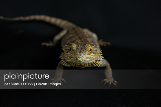 Bearded Dragon Looking head on into camera - p1166m2111966 by Cavan Images