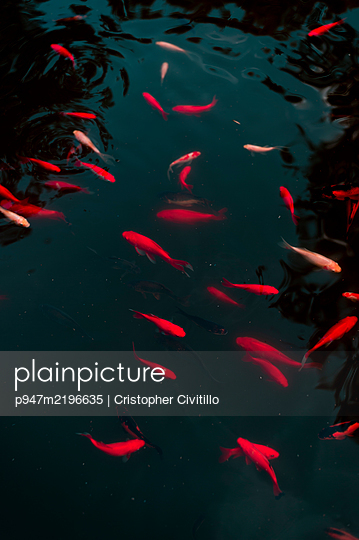 Shoal of goldfish in the pond - p947m2196635 by Cristopher Civitillo
