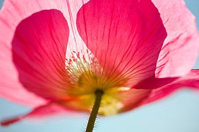 Pink shirley poppy - p4429364f by Design Pics