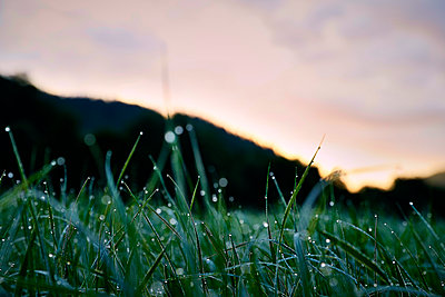 Dewdrops on blades of grass - p851m1481592 by Lohfink