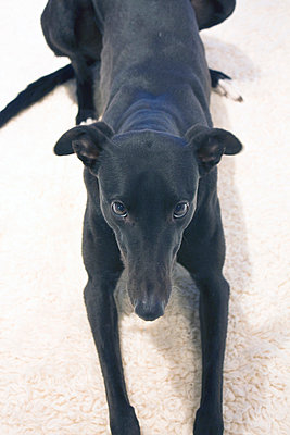Lizzie the Rescue Greyhound - p1121m904280 by Gail Symes