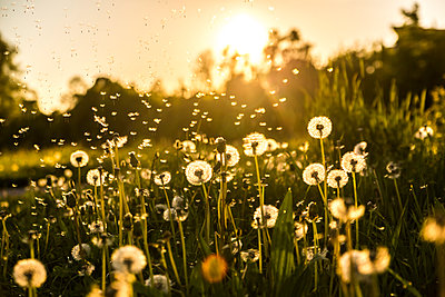 Germany, Bavaria, Summer meadow in evening light - p300m1469806 by Sandra Roesch