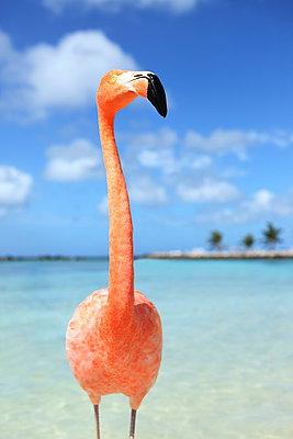 Flamingo auf Aruba - p045m912538 von Jasmin Sander