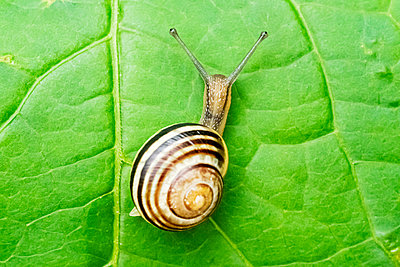 Brown-lipped Snail (Cepaea nemoralis) on a leaf - p1302m2230089 by Richard Nixon