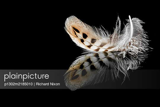 Soft Owl feather on a black reflective surface - p1302m2185010 by Richard Nixon