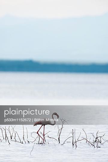 Einsamer Flamingo - p533m1152672 von Böhm Monika