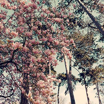 Magnolia blossom - p1240m2063342 by Adeline Spengler