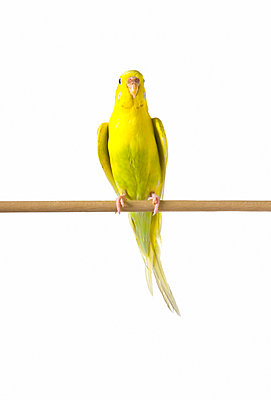 Yellow budgie - p4422892f by Design Pics
