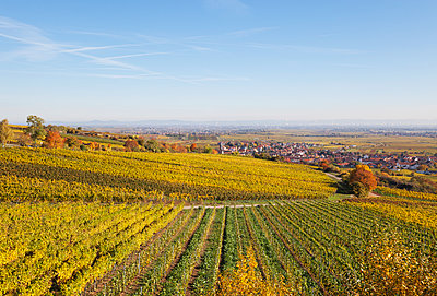 Germany, Rhineland-Palatinate, Kallstadt, vineyards in autumn colours, German Wine Route - p300m2042083 by Gaby Wojciech